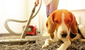 a dog laying on a carpet and a woman vacuuming a carpet at back